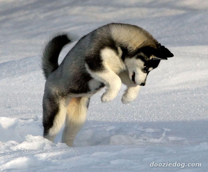 perros siberianos fotos - Taringa! - Inteligencia colectiva
