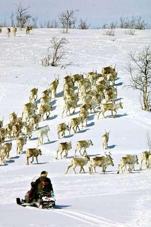 reindeer_herding_under_threat