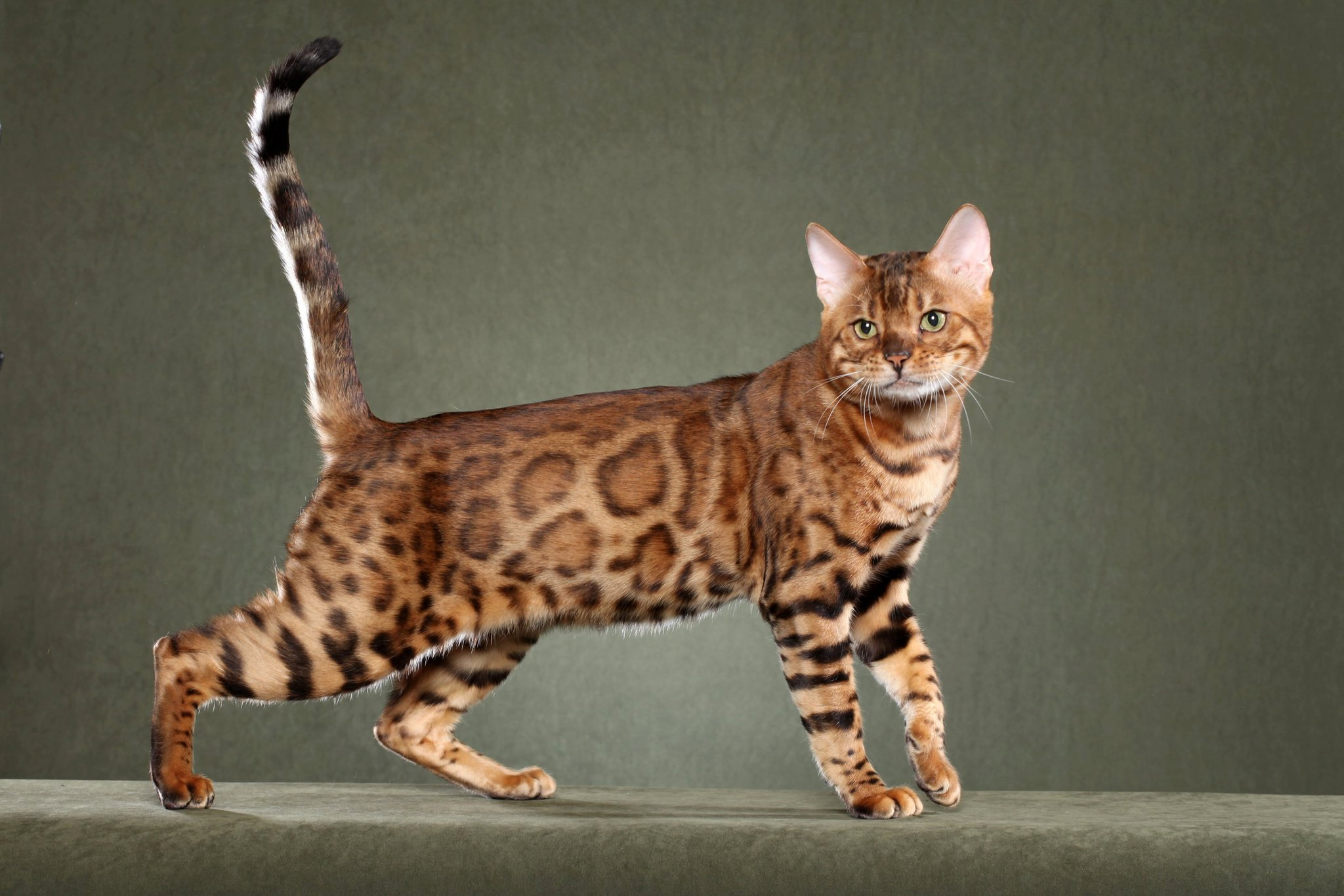 Cat Breeds – All about that Cat