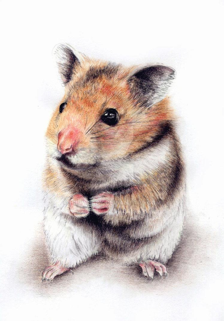 d hamster