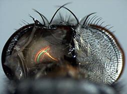 cerebro de la mosca