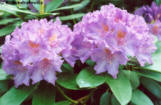flores-de-rafael
