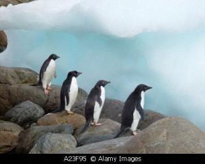 pinguinoss