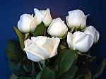 rosas-blancas-sobre-azul-34453