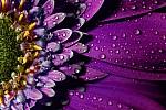 rocio-en-la-flor-24697