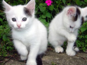 Куплю кошку персидскую в Златоусту.