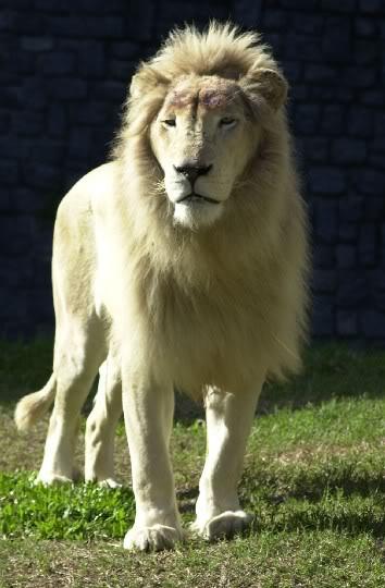 leon y tigre blanco - photo #27