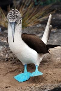 Piqueros patas azules