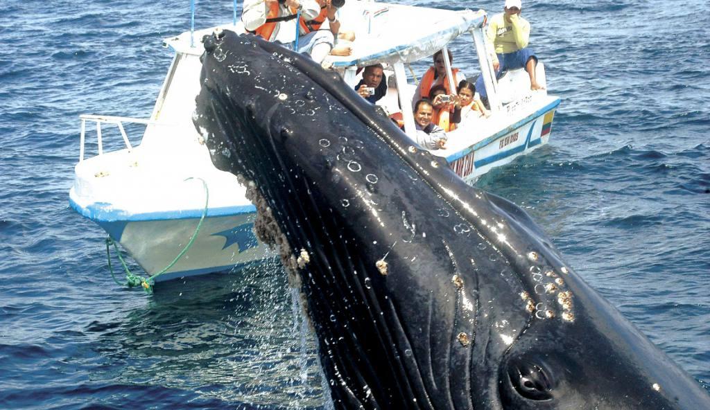 30 minutos es el tiempo máximo de los viajes tours y excursiones para ver a las ballenas jorobadas